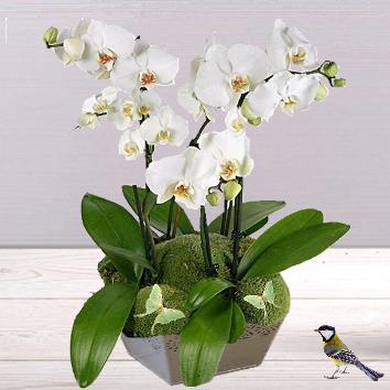 Orchidées blanches en coupe