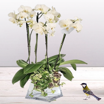 Orchidée Phalaenopsis blanc