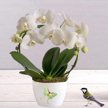 Orchidée arceau