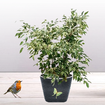 Ficus panaché