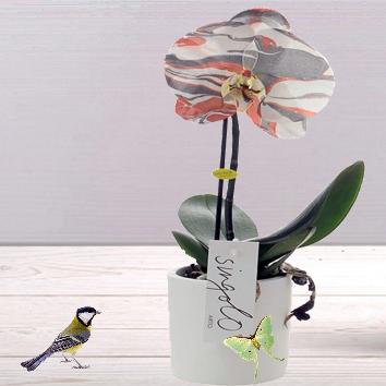 Orchidée Singolo Arto