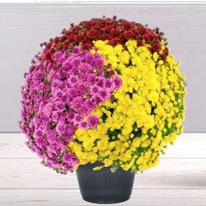 Chrysanthème multicolore