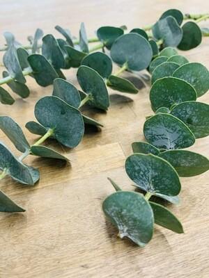 Bulk Baby Blue Eucalyptus