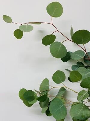 Bulk Silver Dollar Eucalyptus
