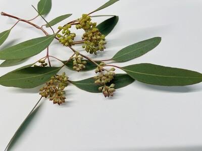 Bulk Seeded Eucalyptus
