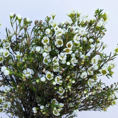 Bulk Waxflower