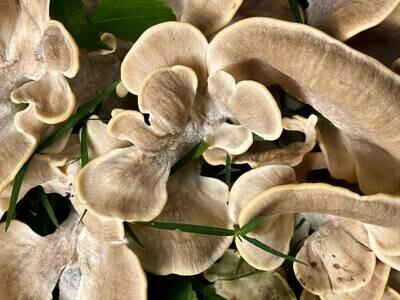 Mushroom Complex