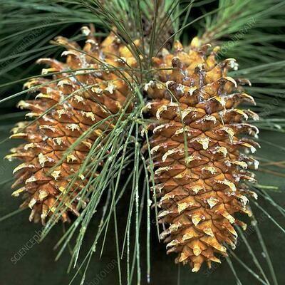 STEFANAZZI 65cm 2 Branches de Fleurs Velours de pin Baies et Pommes d/écorations Porte dentr/ée