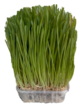 Certified Organic Wheatgrass Sprouts