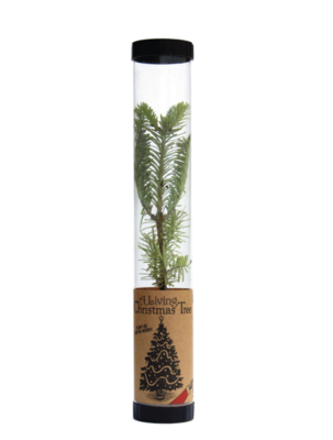 Living Christmas Tree | Balsam Fir | Packaged Live Tree