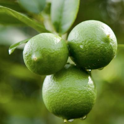 Dwarf Key Lime Tree