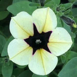 "Petunia Headliner ""Dark Saturn"""