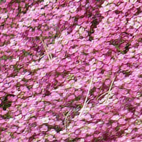 Alyssum Easter Bonnet Deep Pink