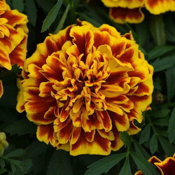 Marigold Bonanza Bee French