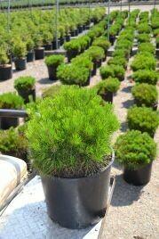 Pine, Mugo