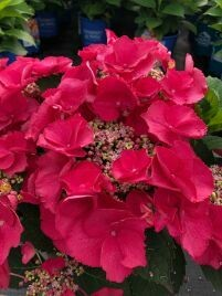 Hydrangea, Cherry Explosion (Bloomables®)