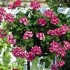 Ivy Geranium, Burgundy Blaze, Great Balls of Fire