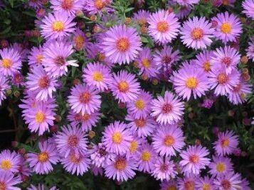 Aster, Woods Purple