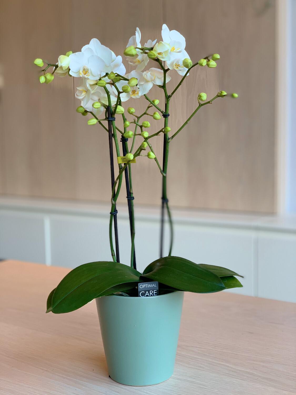 Phalaenopsis kleinbloemig met sierpot