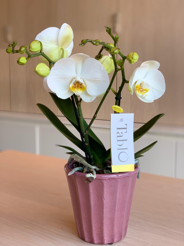 Phalaenopsis Tablo met sierpot