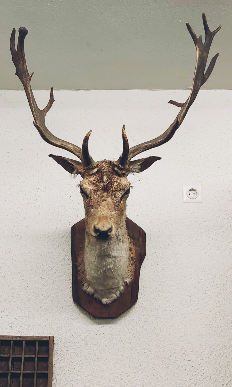 Stuffed animal head fallow deer