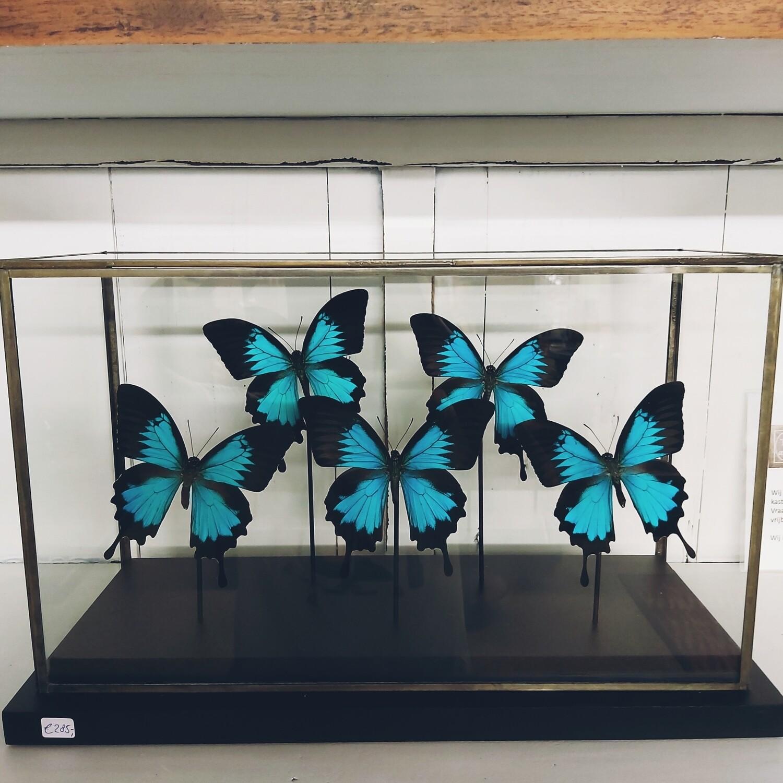 Butterflies in display case black ( 5 pieces )