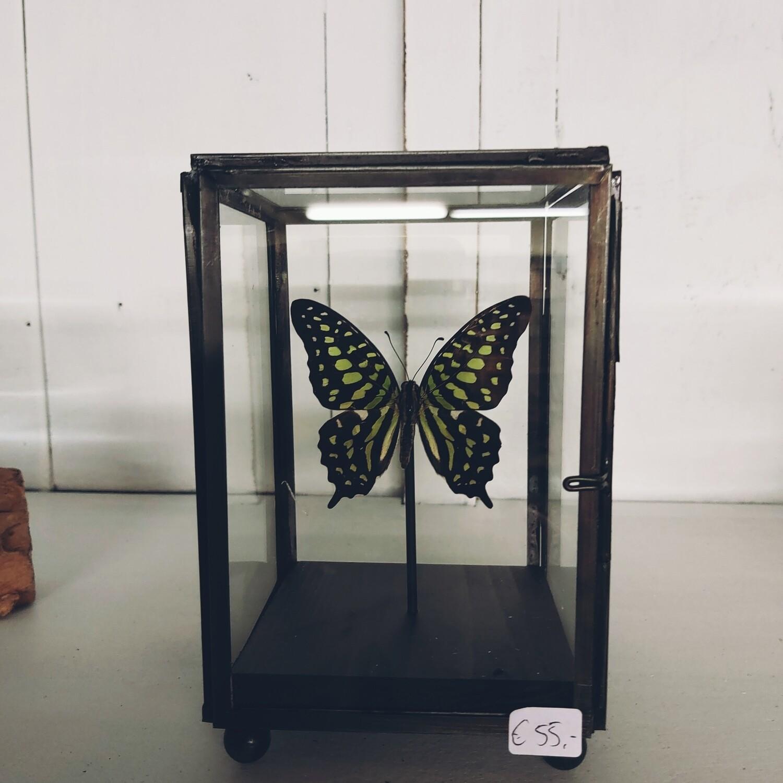 Mini vitrine vlinder