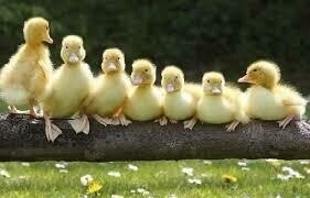 Patos Blancos