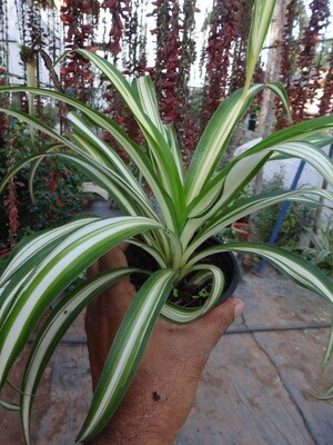 Spider plant variegated (Edge green)