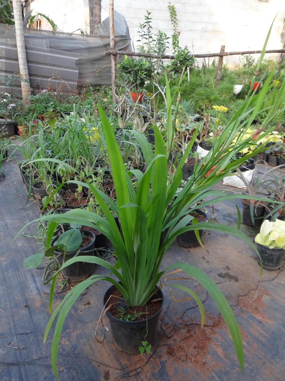 Trimerzia plant