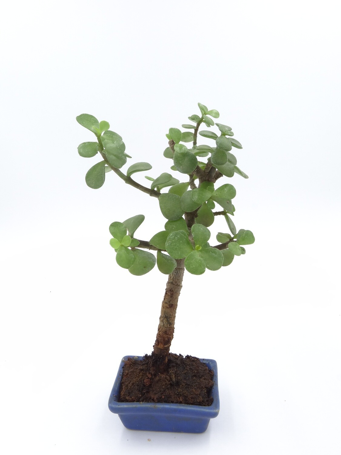 Mini bonsai jade minima