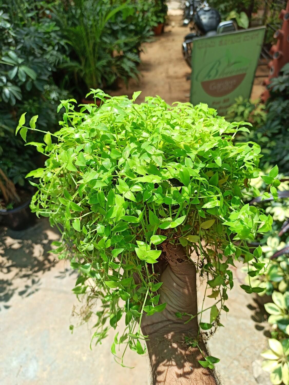 Green turtle vine