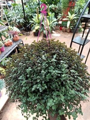 Purple turtle vine