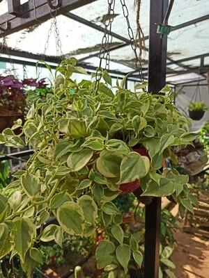 Cupid peperomia variegated
