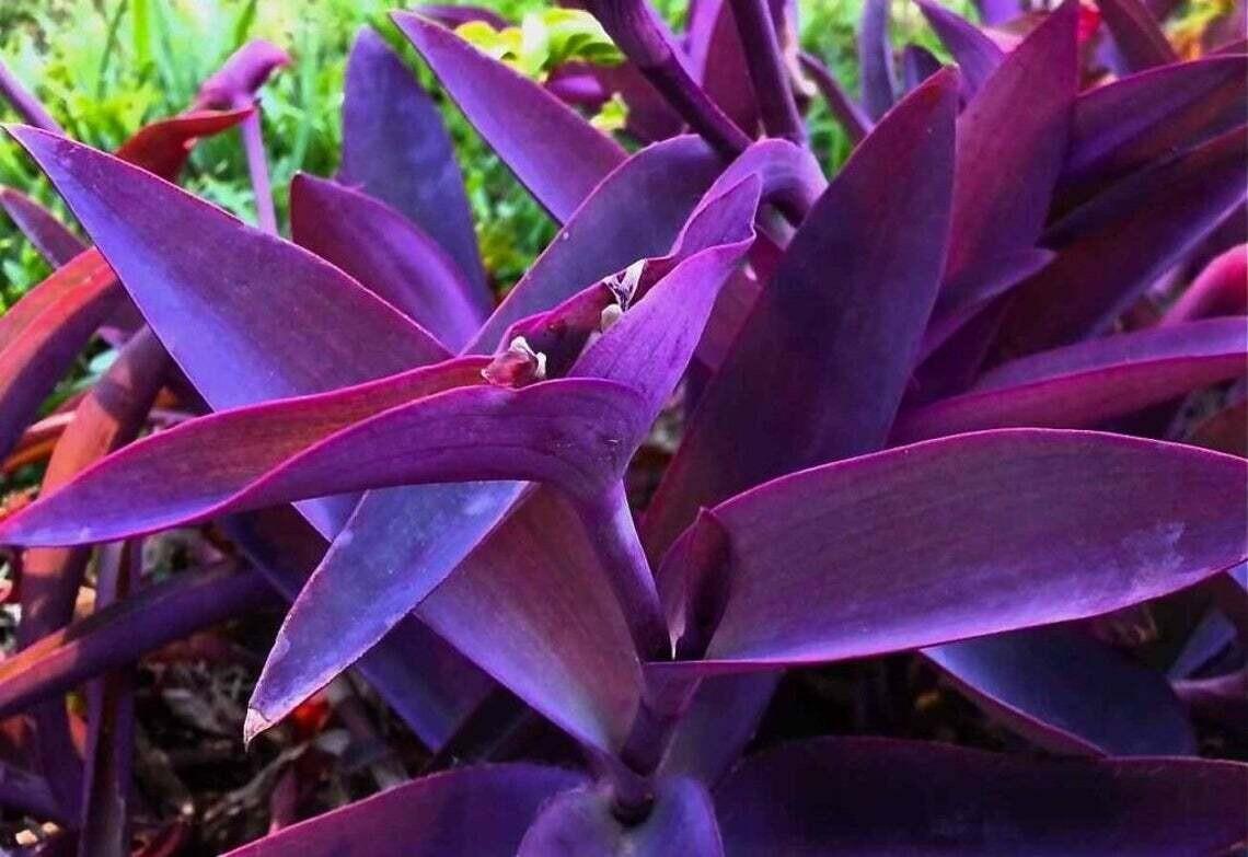 Purple-heart plant