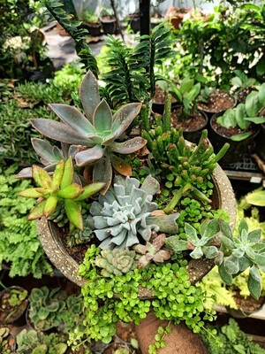 Bowl of Joy (succulents ina cement bowl)