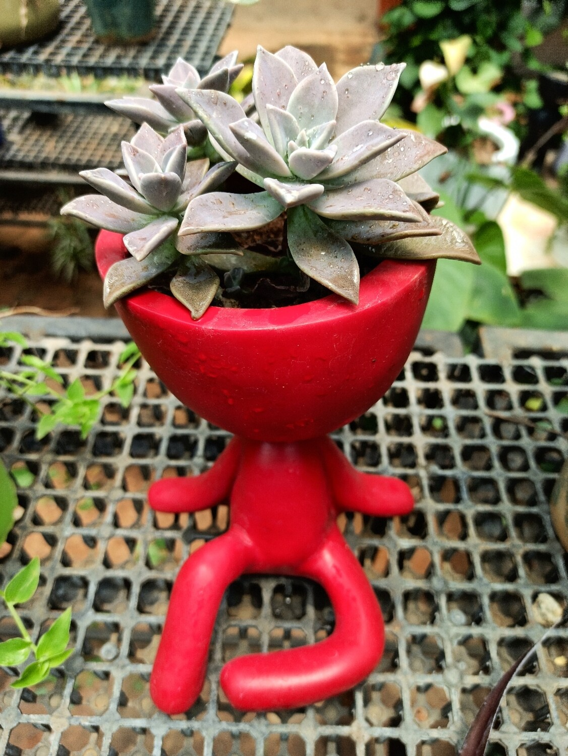 Ghost plant in a yoga planter