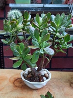 Bonsai Jade (big leaf)