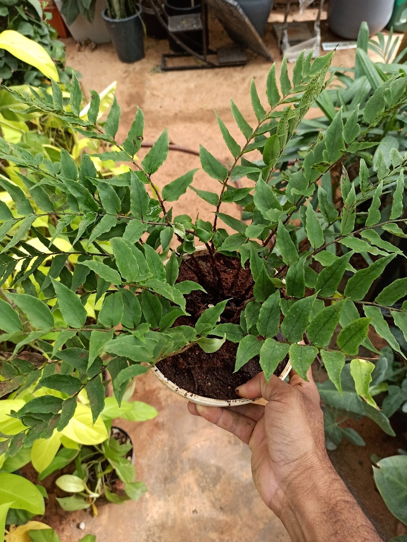 Cyrtomium falcatum (Japanese holly fern)