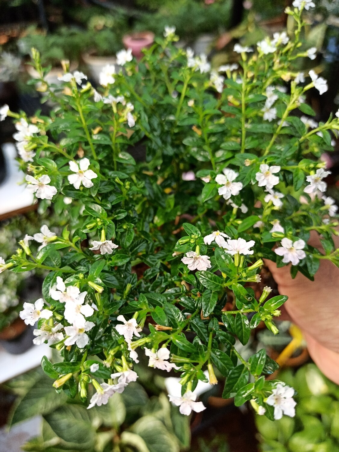 Cuphea - Mexican Heather white