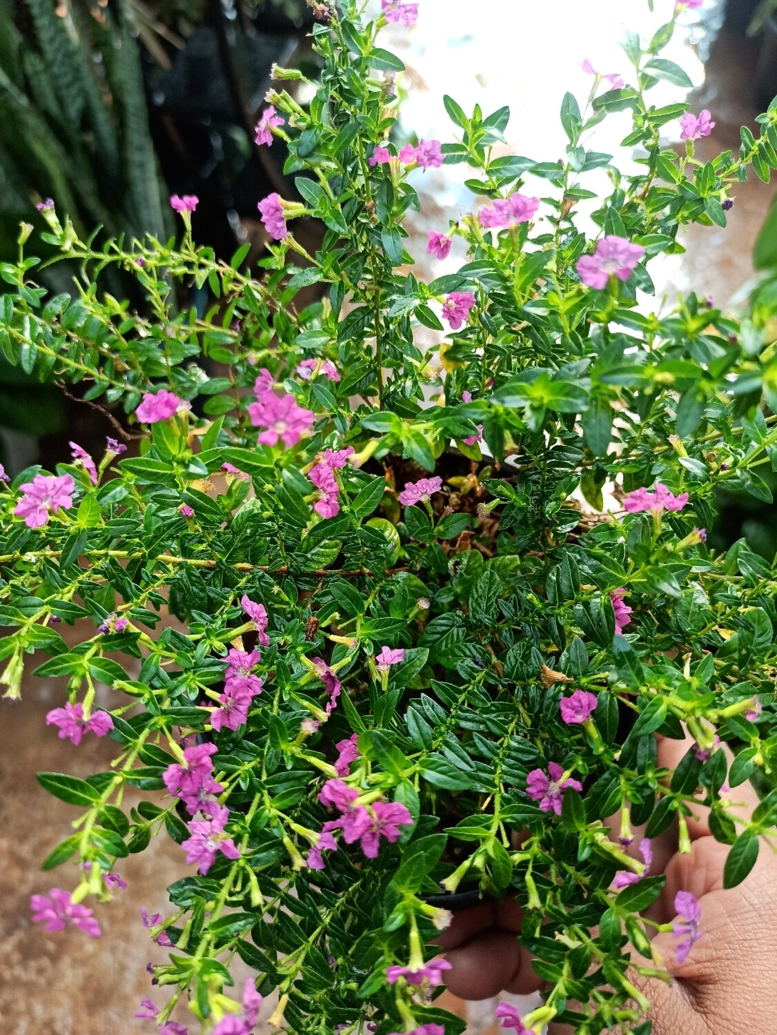 Cuphea - Mexican Heather pink
