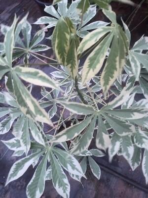 Tapioca variegata