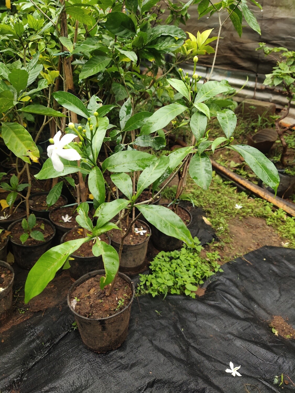 Crape jasmine
