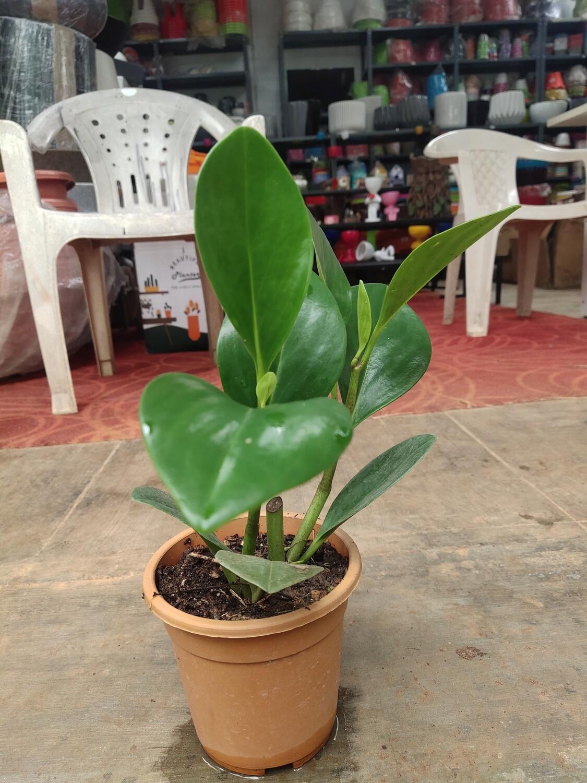 Green peperomia