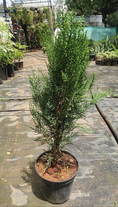 Tuja plant ( medium size)