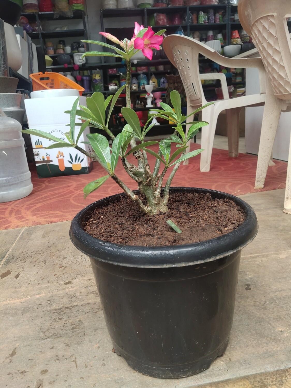 Adenium Bonsai (Desert Rose)