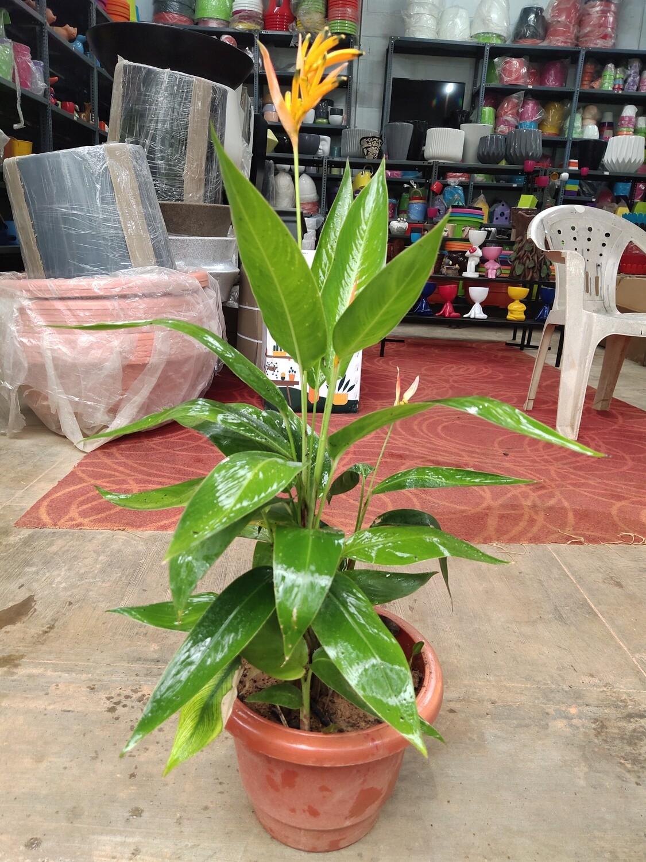 Heliconia psittacorum ( parakeet flower )
