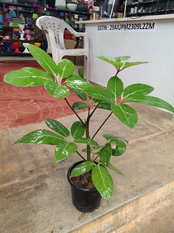 Brassia green (Schefflera Actinophylla)
