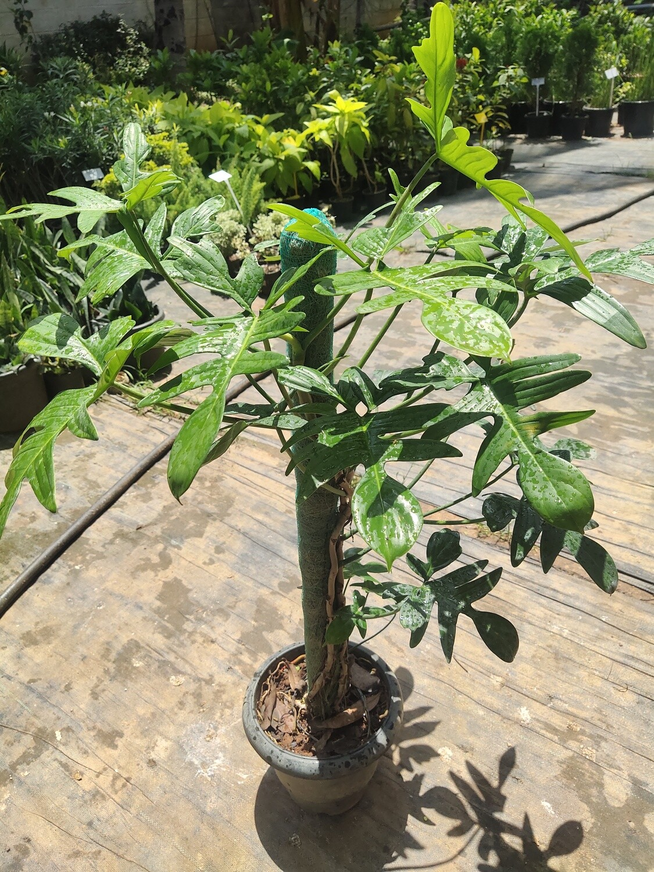 Philodendron xanadu croot