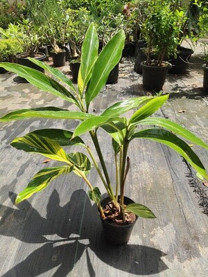 Alappina Zerumbet Variegata (Shell Ginger)